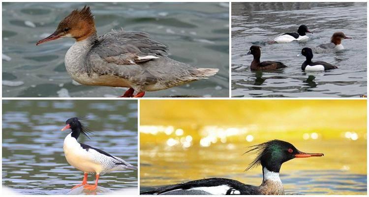 Утка крохаль: фото, описание породы, характеристика — selok.info