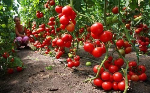 Детерминантный сорт томатов, что это такое