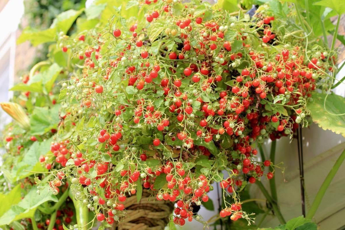 Как вырастить помидоры на балконе: пошаговая инструкция с фото и видео