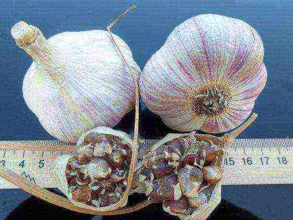 Выращивание ярового чеснока: правила и хитрости