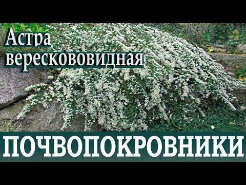 Астры: выращивание из семян, посадка и уход в саду