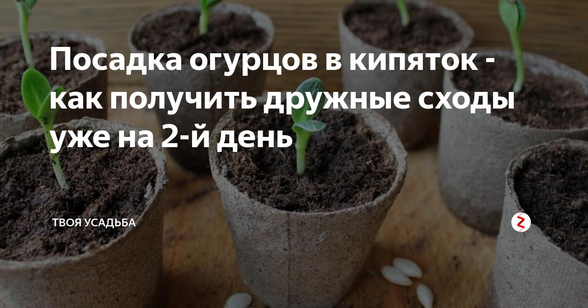 Преимущества посева огурцов в кипяток: инструкция