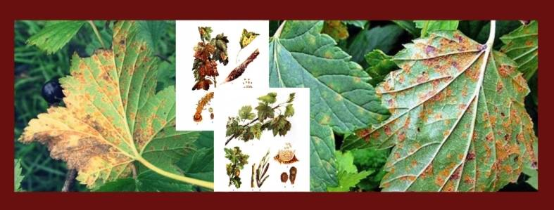 Ржавчина смородины – виды, симптомы, профилактика и лечение