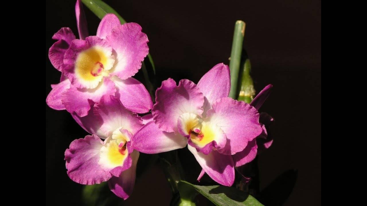 Орхидея дендробиум нобиле: описание, уход и размножение в домашних условиях, что делать когда dendrobium nobile отцвела