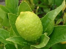 Понцирус - poncirus trifoliata, выращивание, фото, размножение, описание