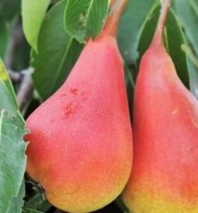 Груша кафедральная: сладкая красавица в саду