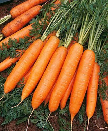 Белая морковь, фиолетовая морковь: описание, сорта