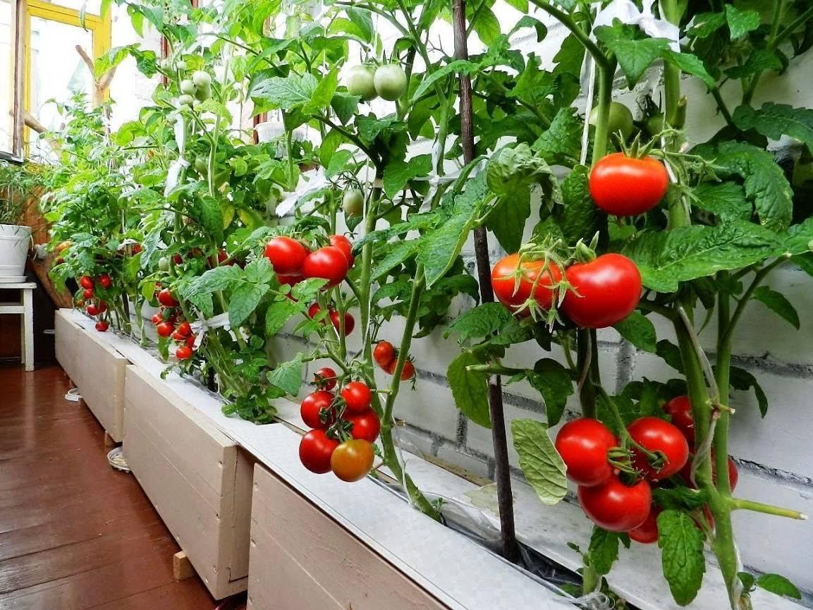 Как вырастить помидоры черри на балконе и подоконнике