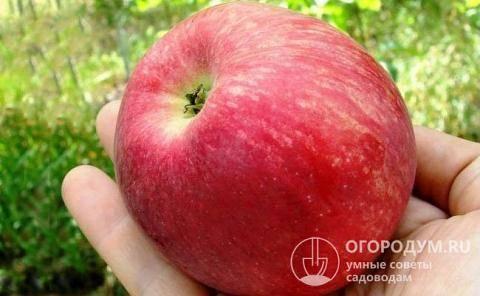 Стабильный и регулярный урожай от яблони слава победителям
