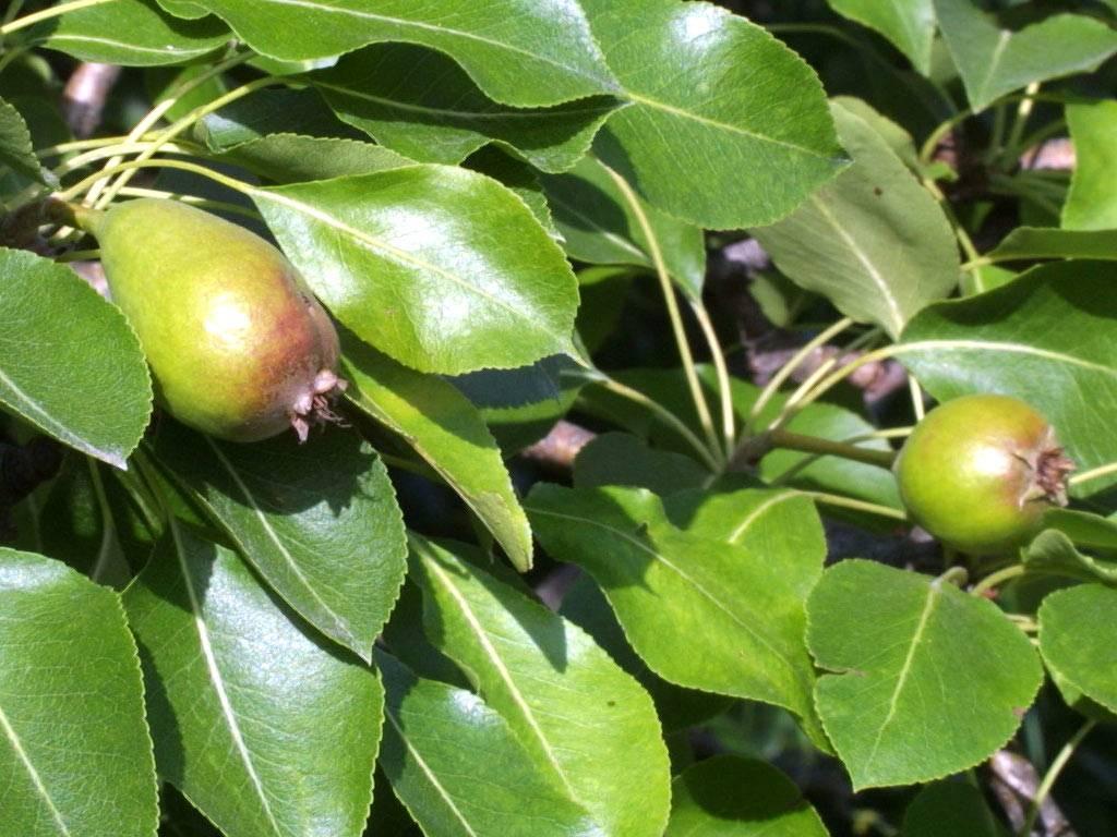 Болезни груши и борьба с ними с фото как выглядят листья
