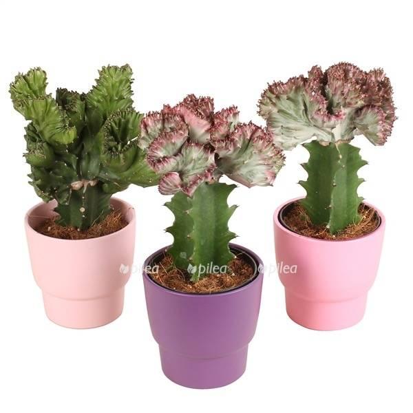 Эуфорбия цветок: основные виды и уход в домашних условиях