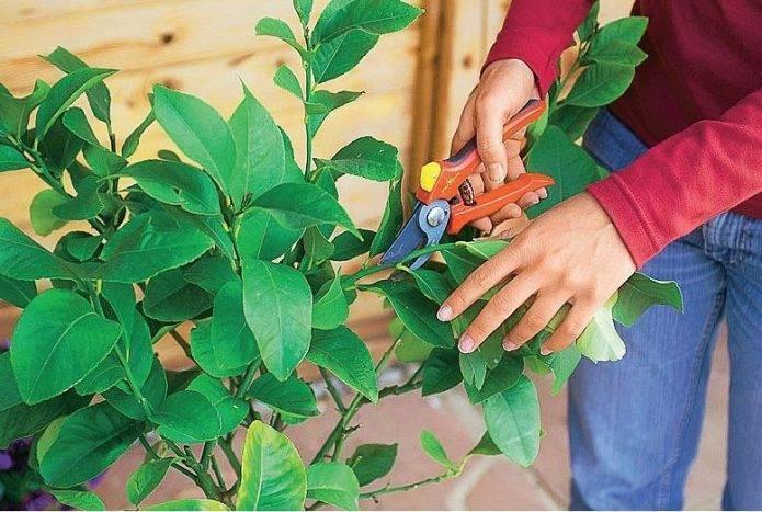 Размножение лимона черенками в домашних условиях: правила, особенности и советы по уходу за побегами (90 фото + видео)