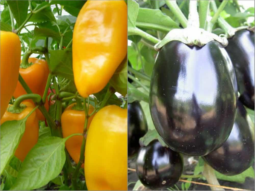 Можно ли сажать огурцы вместе с баклажанами в одной теплице: условия для выращивания