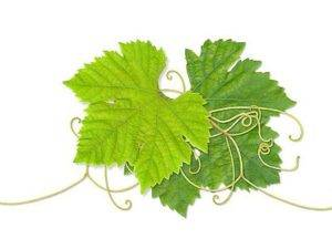 Листья винограда: польза, применение, рецепты