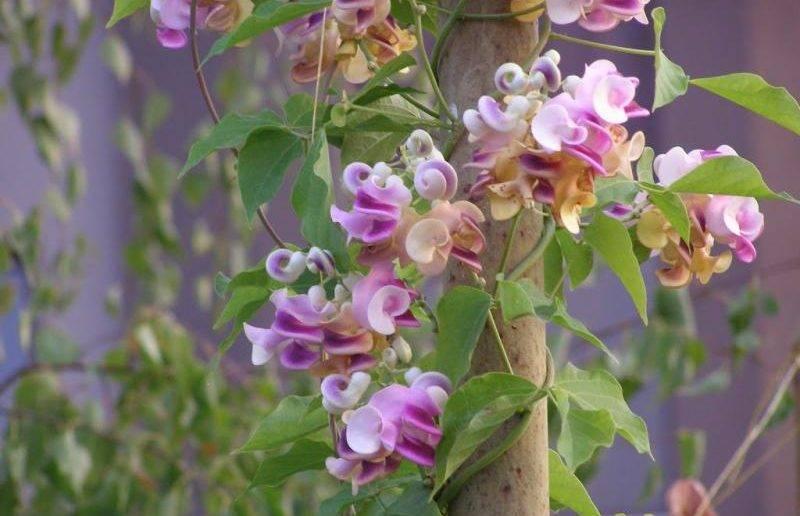 Декоративная вьющаяся фасоль и её выращивание из семян (с фото)
