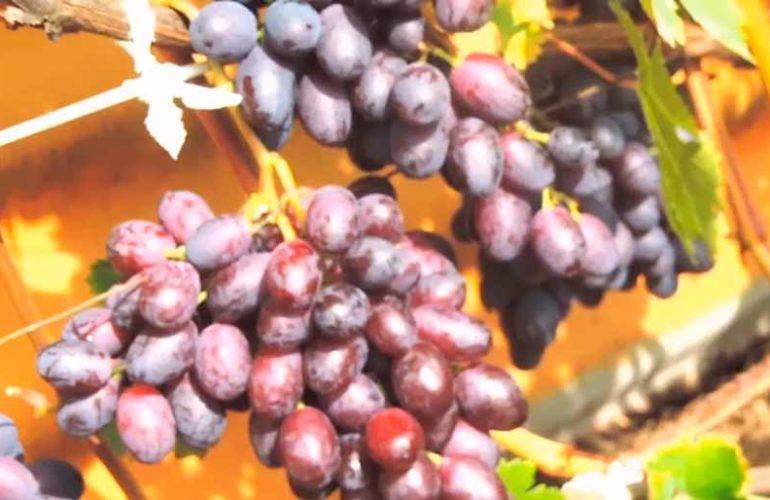 Виноград краса никополя: описание сорта, достоинства, выращивание, отзывы