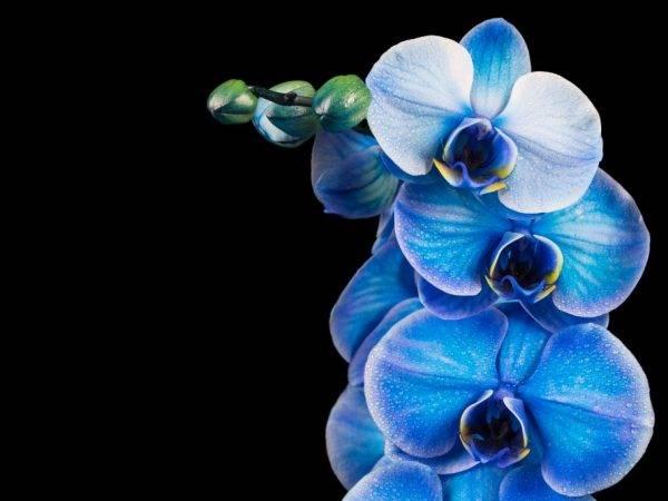 Голубые и синие орхидеи (40 фото): крашеные они или натуральные? бывает ли в природе синий фаленопсис? правила ухода в домашних условиях