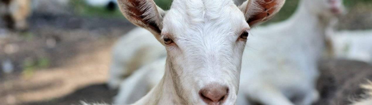 Почему коза перестала давать молоко?