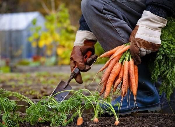 Как правильно выкапывать и когда убирать морковь с грядки на хранение? русский фермер