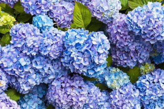 Посадка гортензии осенью - как посадить цветок в открытый грунт под зиму