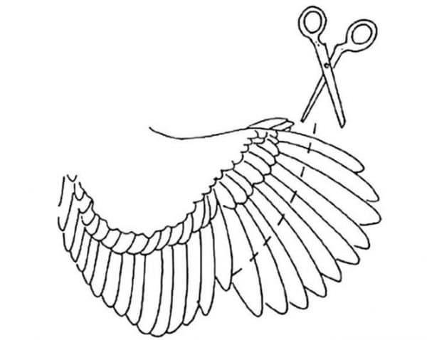 Правильно подрезаем крылья уткам-летуньям