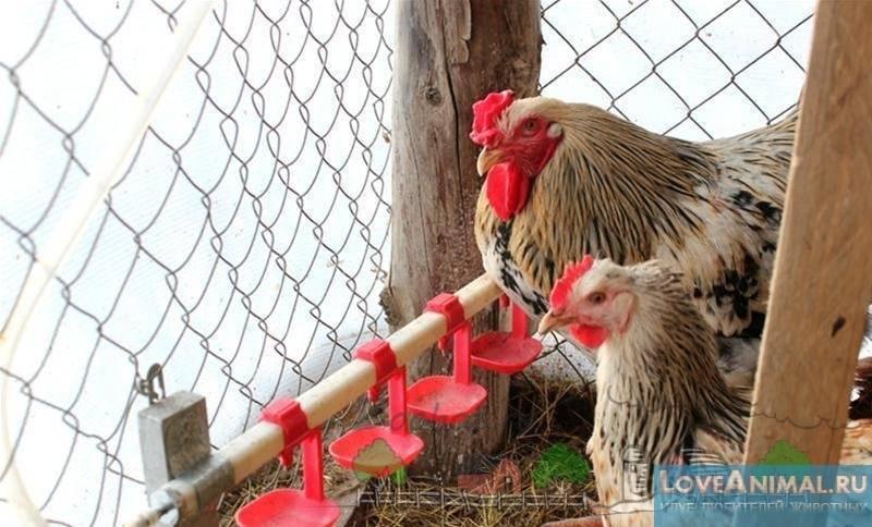 Поилки для кур (55 фото): как сделать своими руками автоматические и вакуумные изделия? оригинальные идеи поилок для цыплят бройлеров из 5-литровых пластиковых бутылок и канализационных труб