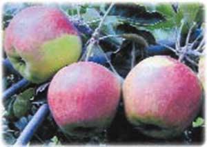 50 фото и описание яблони «легенда», ? посадка, уход, ее полезные свойства и противопоказания