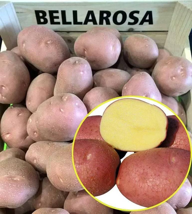 Картофель беллароза, бела роса или белая роза: характеристики и вкусовые качества