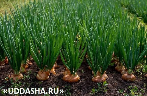 Посадка лука-севка весной, как и когда?