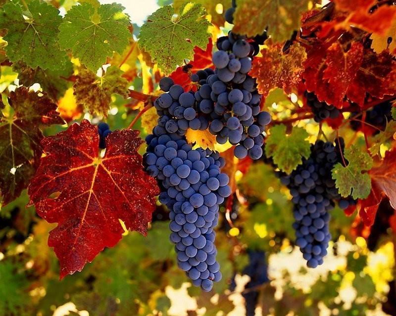 «триумф» — уникальный столовый виноград