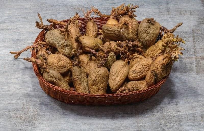 ᐉ как прорастить картофель для посадки – 3 быстрых метода - roza-zanoza.ru
