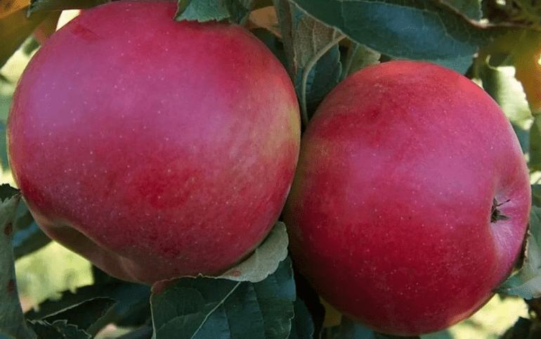 Яблоня мельба: описание сорта, фото, отзывы садоводов