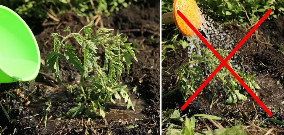 Как правильно и часто поливать помидоры в теплице > видео + фото