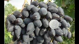 ᐉ атос — гибридная форма винограда - roza-zanoza.ru