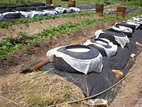 Правильное выращивание арбузов в сибири, советы садоводов