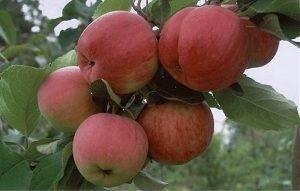 Сорт яблони мечта: фото и описание сорта, особенности