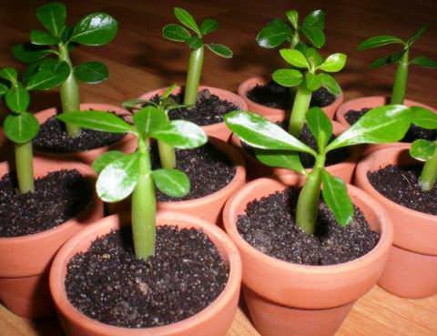 Выращивание адениума из семян в домашних условиях