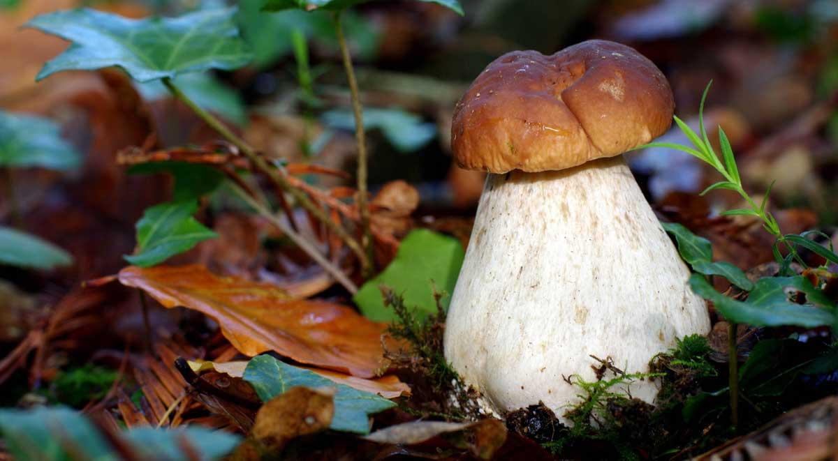 Съедобные и ядовитые грибы саратовской области — фото и название