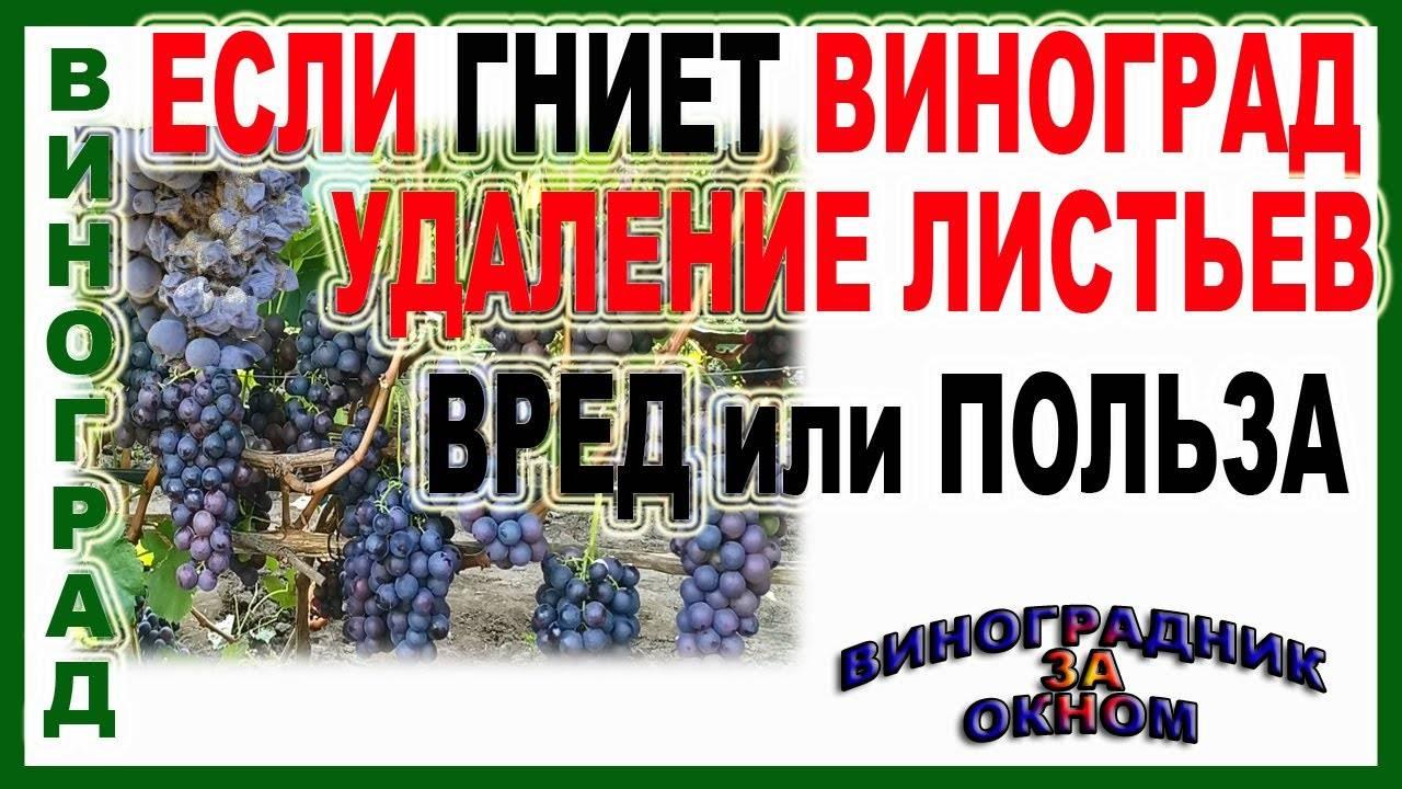 Листья винограда: полезные свойства и противопоказания, ценность, вред и ботаническая характеристика, как приготовить настой и побочные эффекты отвара