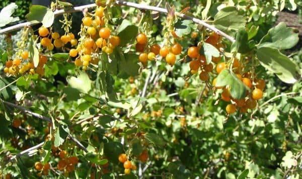 Смородина золотистая: 10 сортов - ляйсан, солнышко, дружина, осенняя красавица, левушка - какой вкус, отзывы садоводов