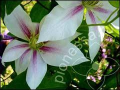 Клематис «андромеда»: описание сорта и выращивание - дача и цветы