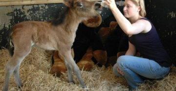 Как рожают лошади