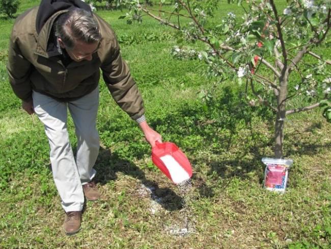 Как правильно подкормить яблони весной: чем, и когда удобрять деревья в саду. правила внесения удобрений под яблони весной - автор екатерина данилова - журнал женское мнение