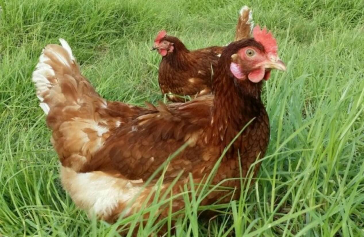 Как повысить яйценоскость кур: добавки и витамины для несушек