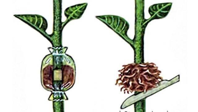 Боярышник: размножение черенками и семенами из косточки (пошагово с фото)