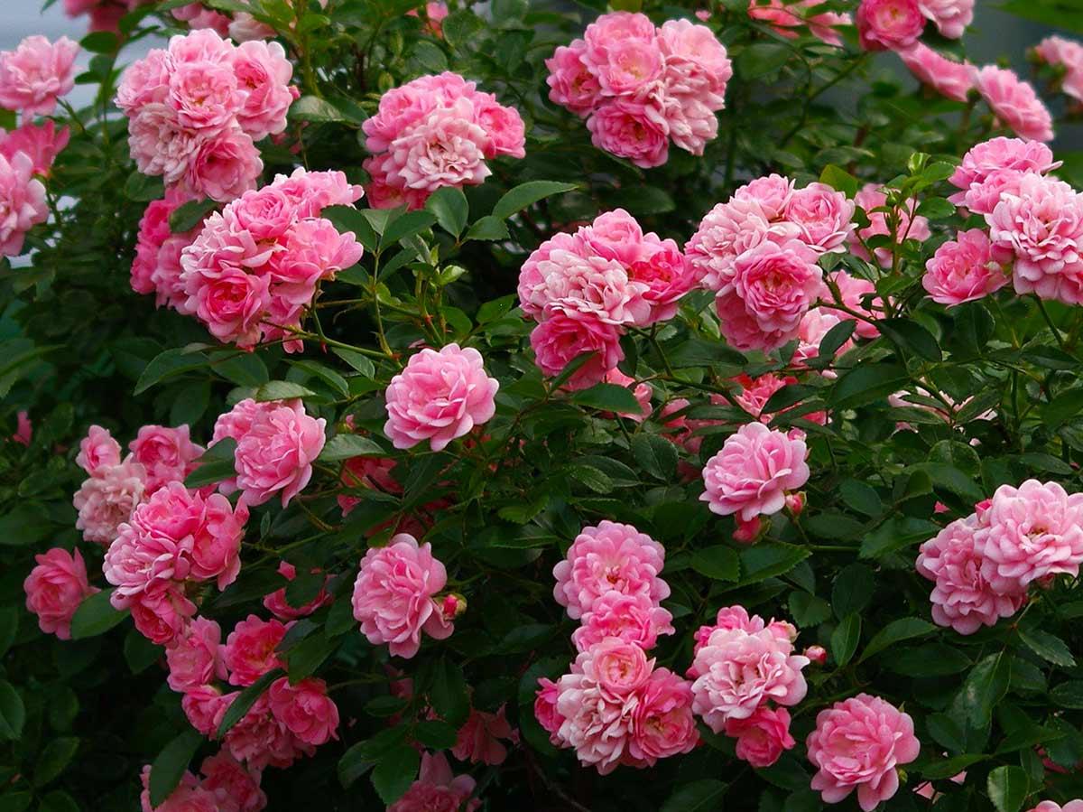 Полиантовые розы - что это такое, фото и описание