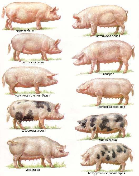 Свиньи миргородской породы