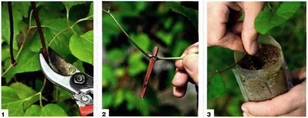 Размножение клематиса семенами и рассадой, черенкование клематиса. | образцовая усадьба