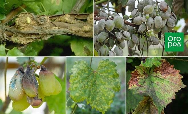 Антракноз винограда: лечение, профилактика, сорта