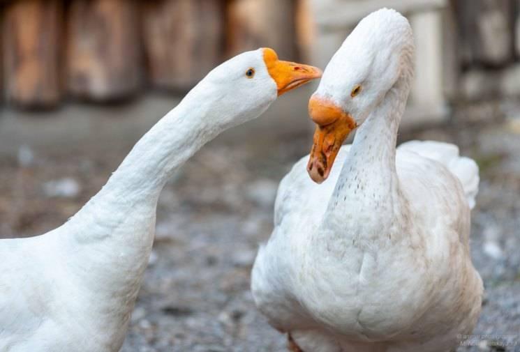 Как разводить гусей в домашних условиях